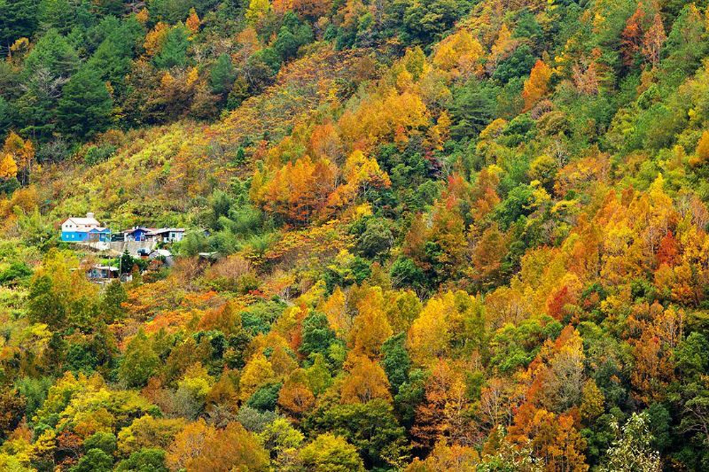Jianshih and Wufeng in Hsinchu County are among the best places in Taiwan for maple leaves chasers as maple trees in these two townships change to bea