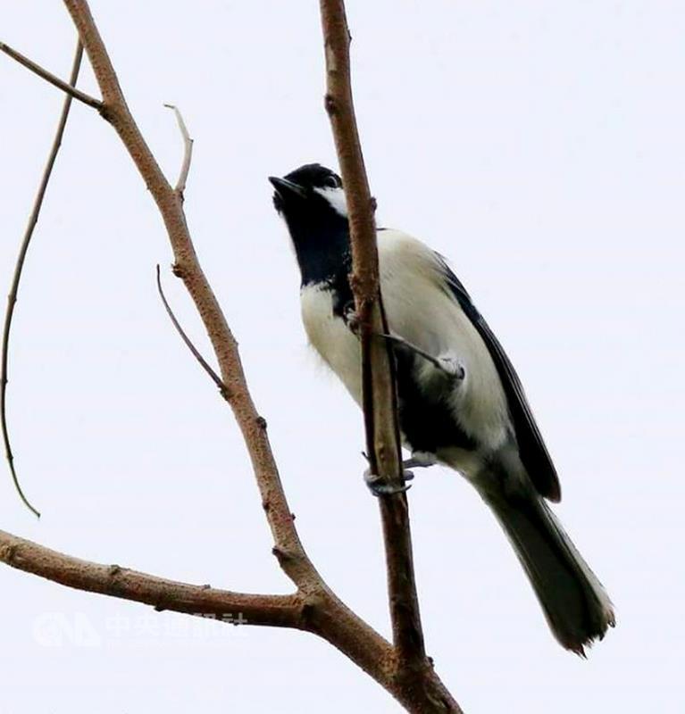 La migration d'hiver des mésanges à Penghu