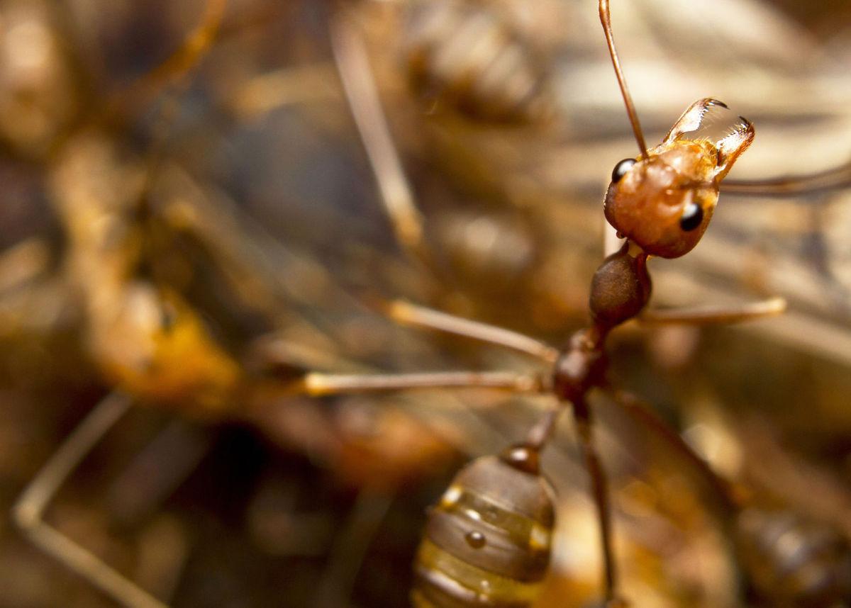 攻擊性火蟻侵澳洲!專家:不處理將面臨數十億美元損失