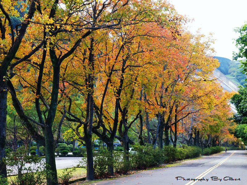 More than 3,000 green maple trees around the Shihmen Reservoir are changing colors and the best time to view the foliage will be the end of December.....