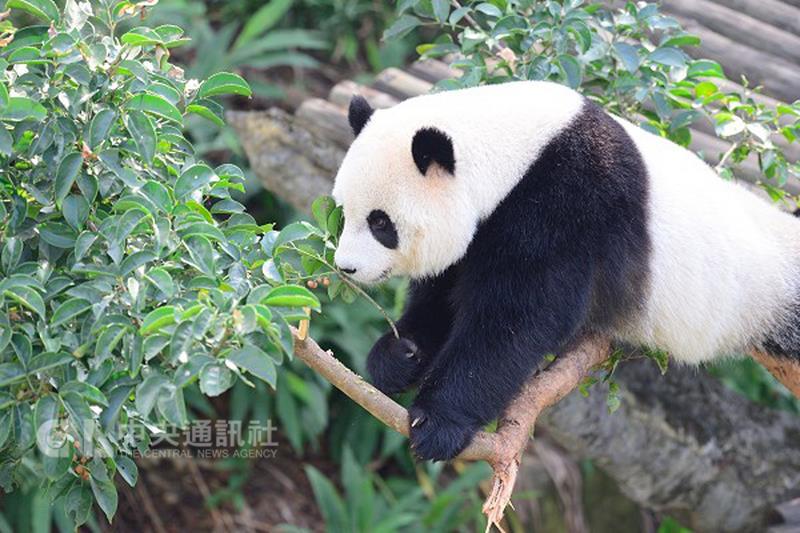Noir et blanc à Taipei Zoo, la conquête du géant «Gozilla»
