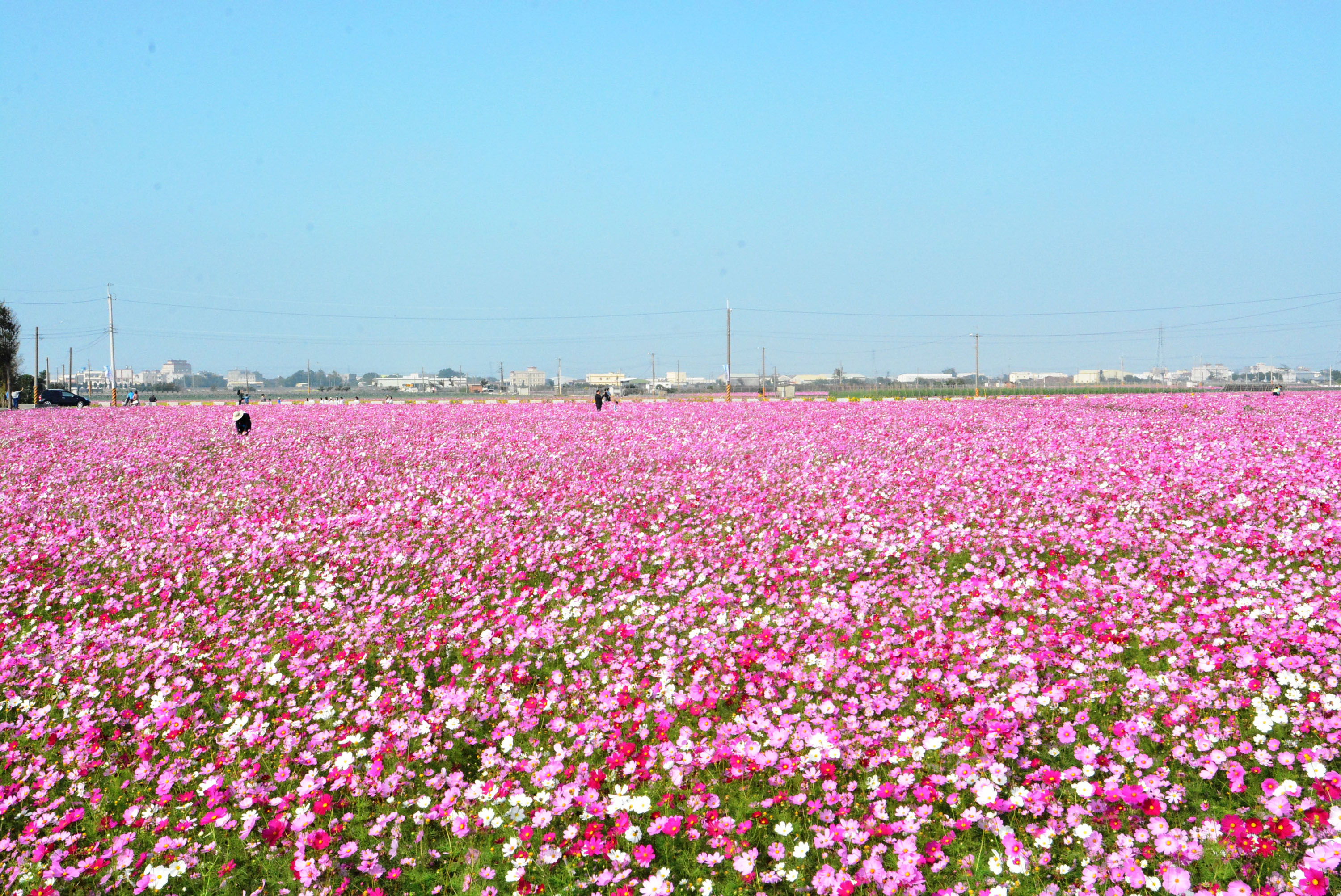 20-hectare field of flower paradise in Changhua County