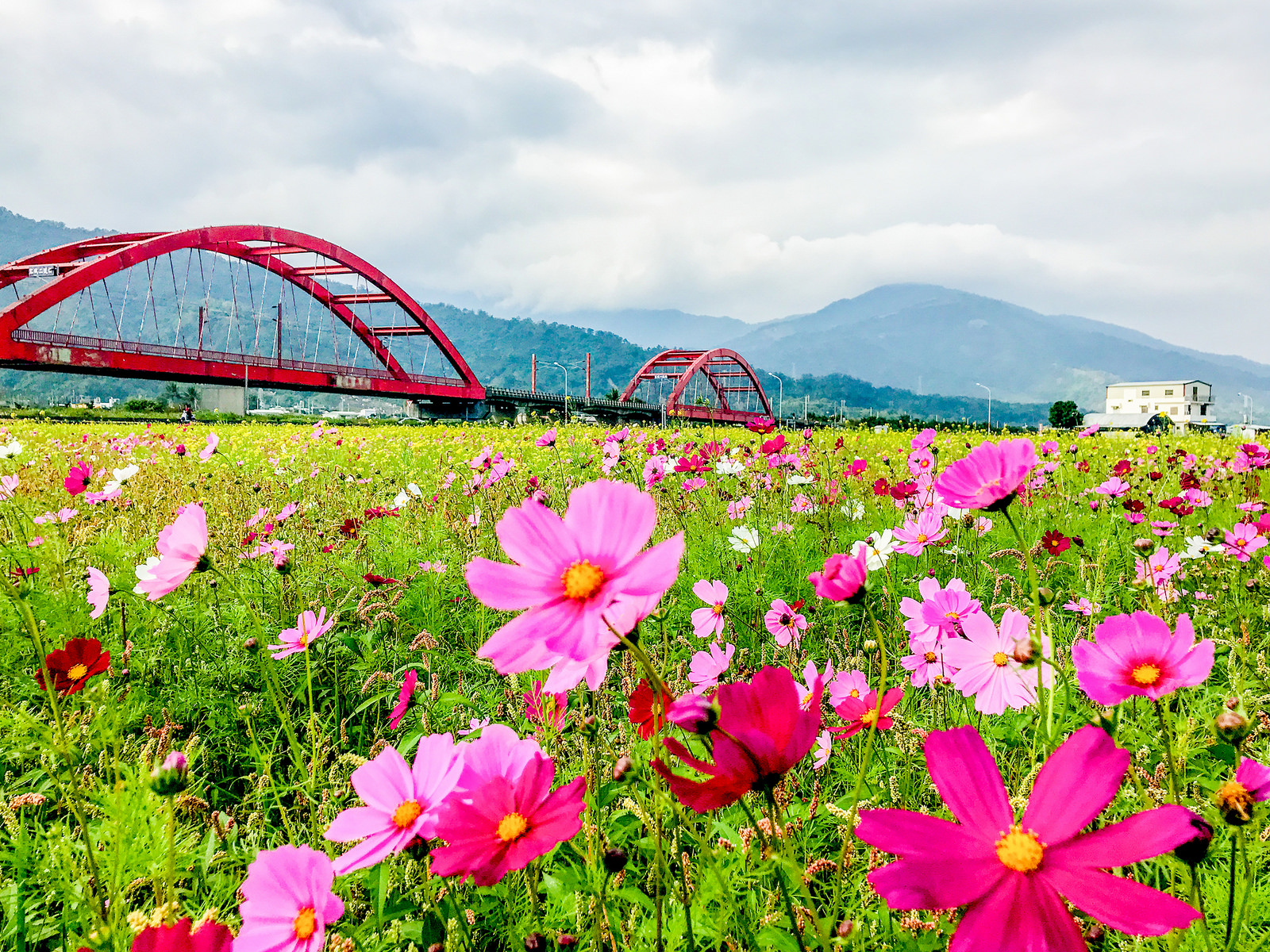 Photo of the day flowers blooming in huatung taiwan news cosmos flowers blooming in yuli hualien photo credit flickr bradshawte izmirmasajfo