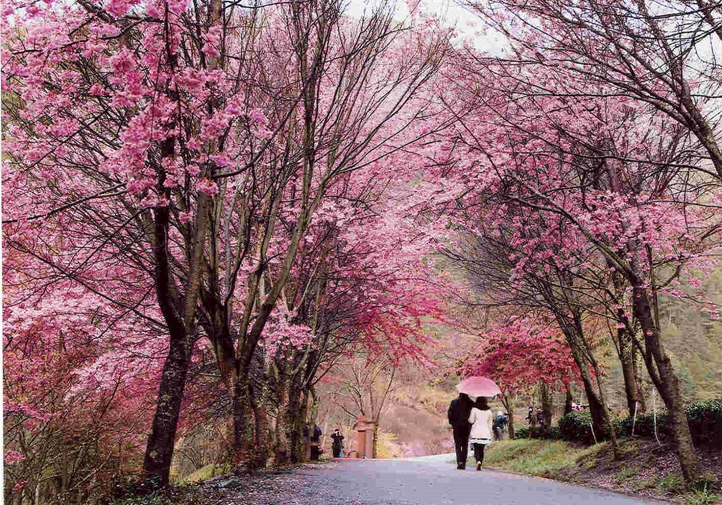 2017武陵農場櫻花季已於昨(11)日開跑。