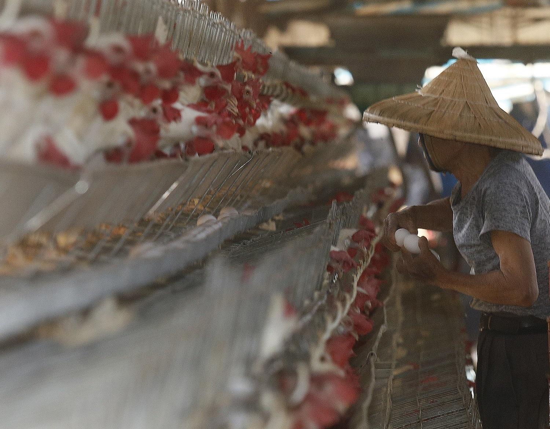 Chicken farmer in Kaohsiung