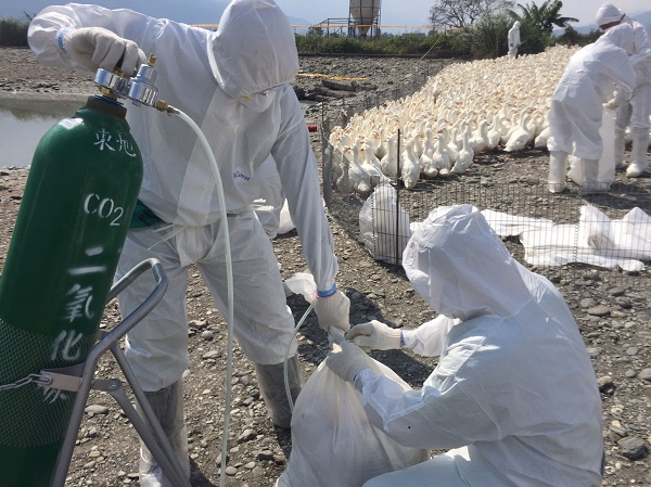 Bureau of Animal and Plant Health Inspection and Quarantine inspectors culls 3,000 geese in Hualien to prevent the spread of bird flu H5N6 in Taiwan.