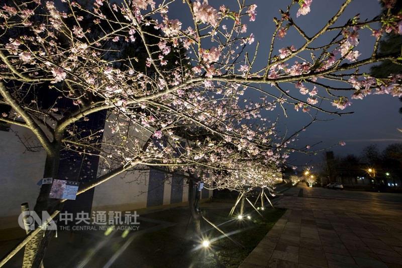 Les différentes allures des fleurs de cerisiers