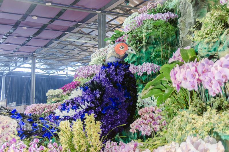 Le Faisan Mikado à l'Exhibition Internationale des Orchidées de Taiwan