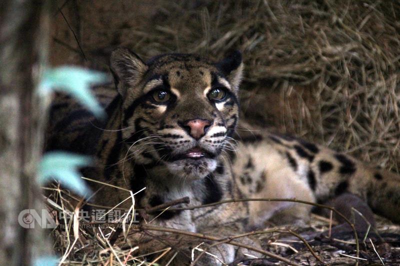 Différente vie des panthères nébuleuses au zoo de Taiwan