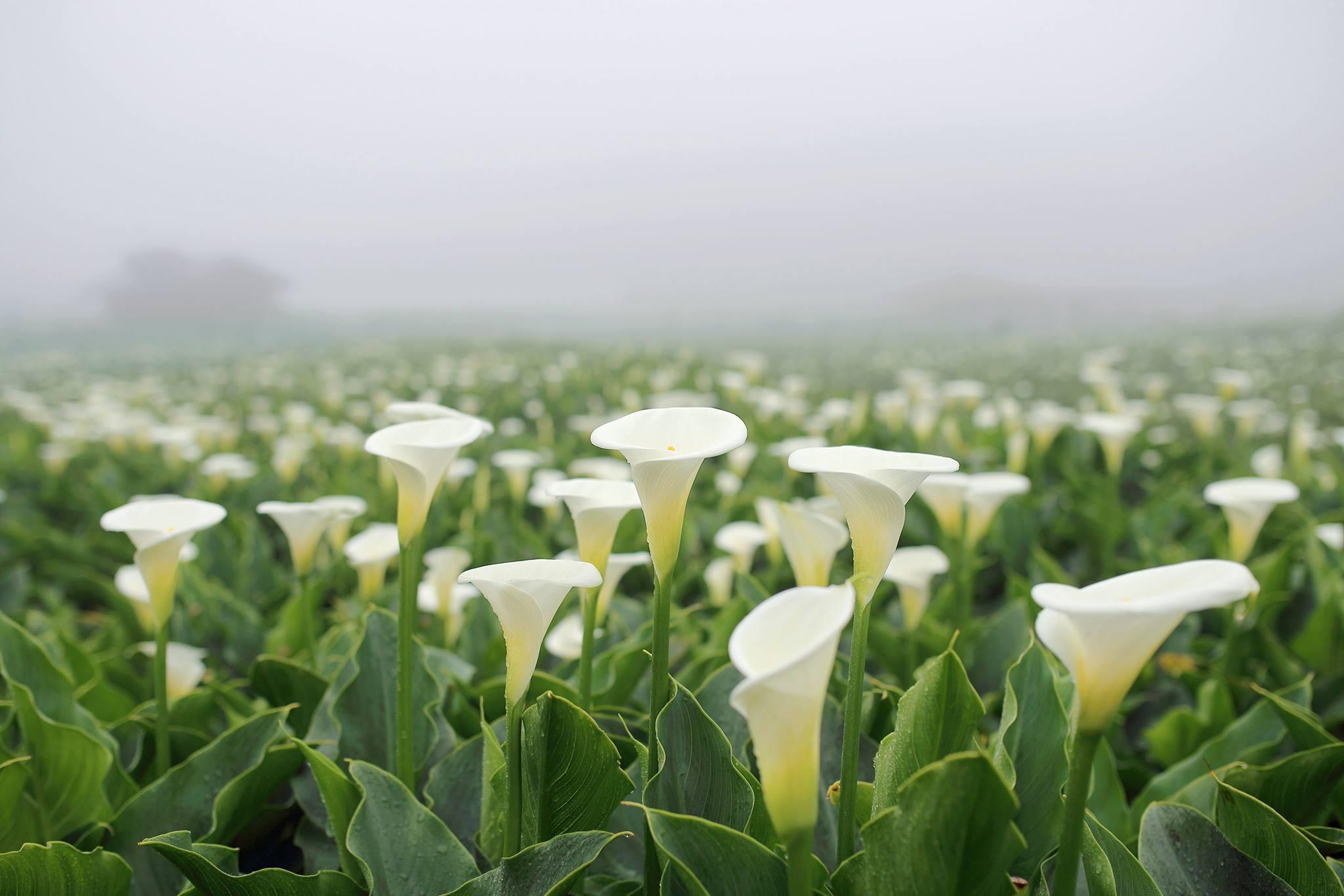 Des arums blancs