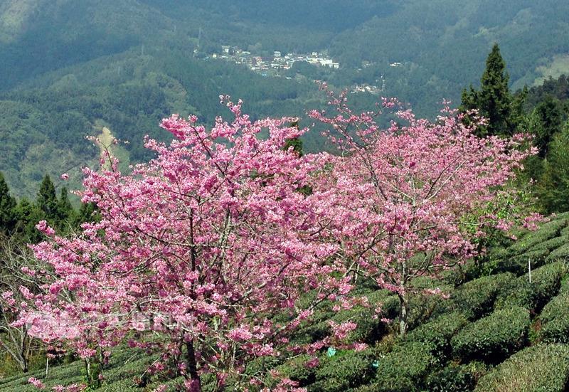 La saison des fleurs d'Alishan a lieu à partir de 10 mars