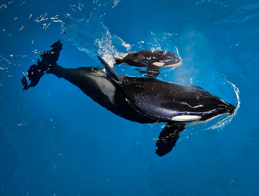 Baby orca! Last killer whale born at SeaWorld