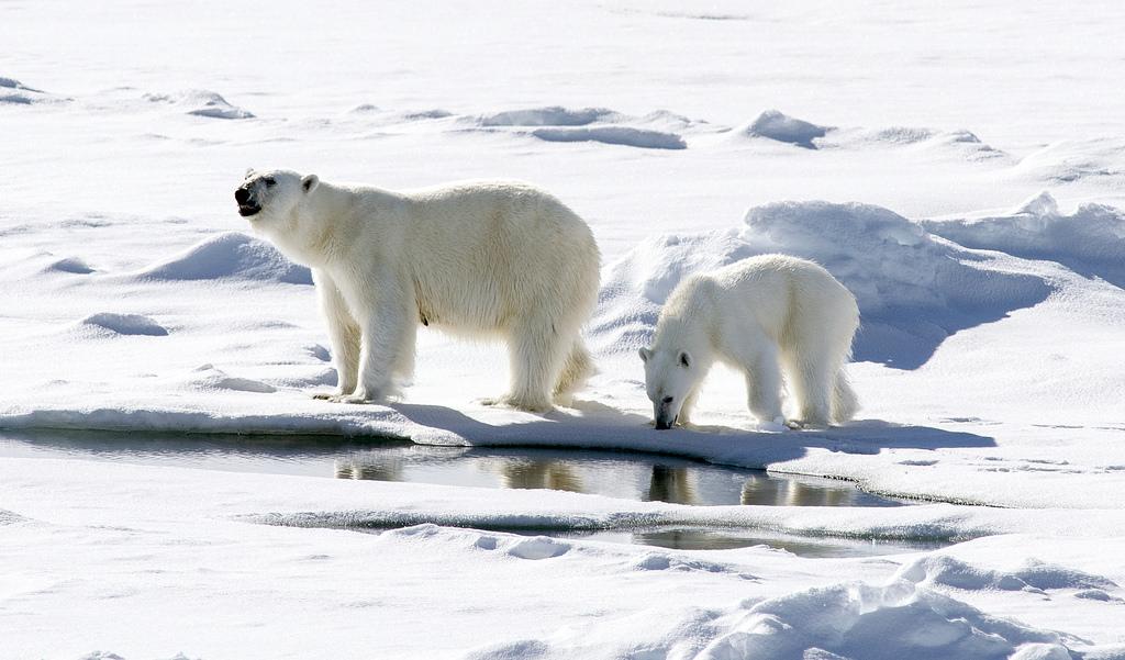 若北極海溫度上升、融冰增加、導致北極熊生態環境遭破壞,預估35年內北極熊數量將減少30%。(圖片來源:Flickr)