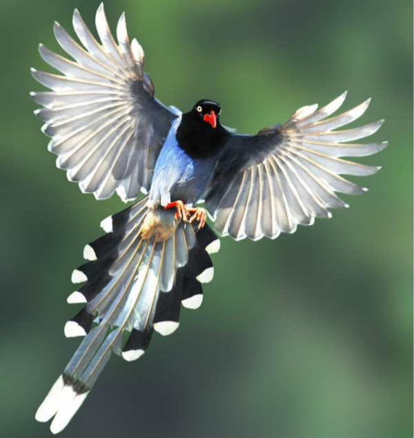 Taiwan blue magpie. Photo courtesy of Ministry of Culture