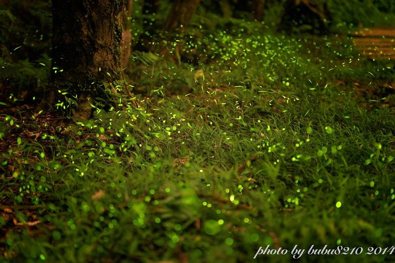 As the firefly season is at its full bloom between mid April and the end of May, people should not miss this short window of time to appreciate the in...
