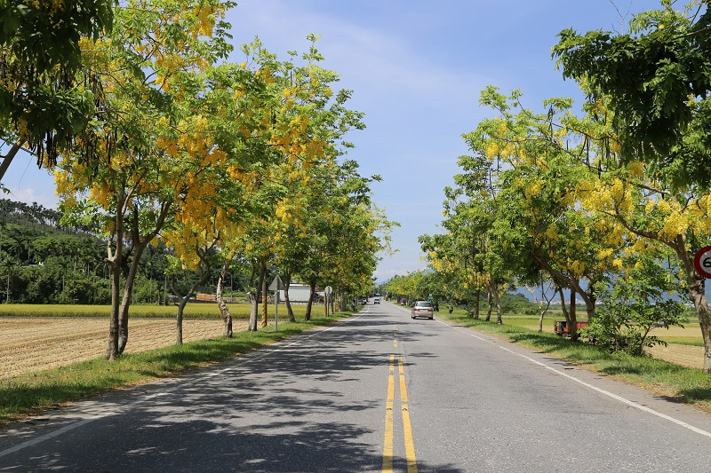 """Two kinds of """"graduation season flowers""""—golden shower trees (阿勃勒) and flame trees(鳳凰花)--are blooming along the YuliTownship section of Hualien Count..."""