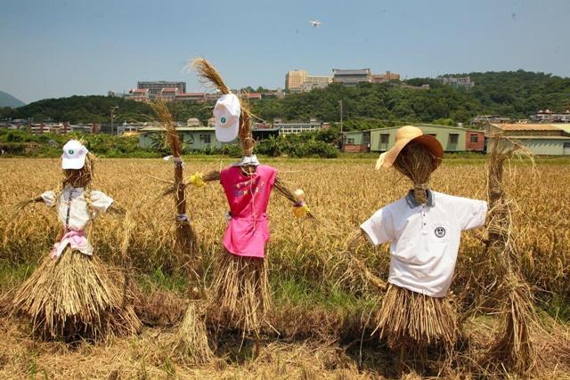 Join rice harvest fun at Taipei's Guandu Plain July 30