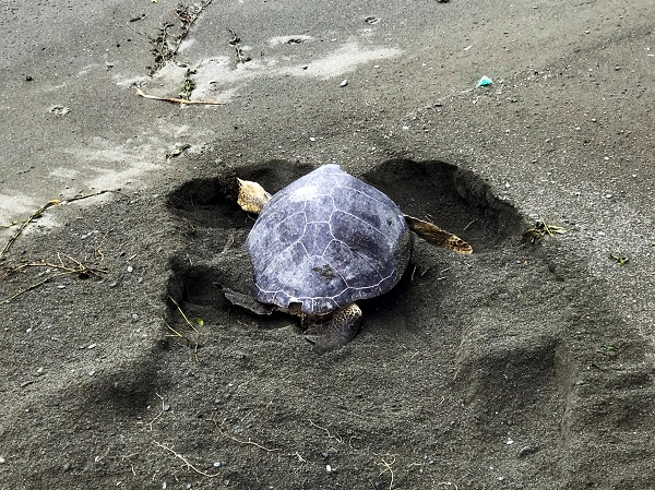 The eight green sea turtle spotted nesting this year.