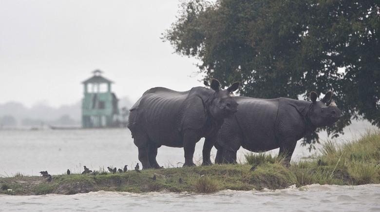 瀕危的獨角犀牛為躲避洪水遷往高地(AP)
