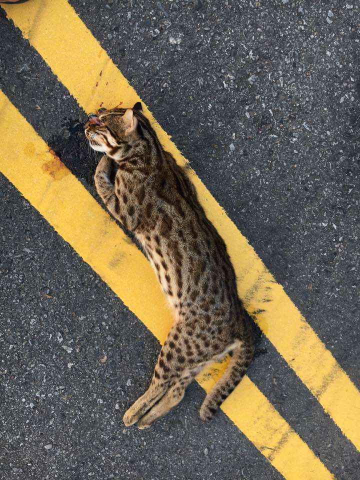 The leopard cat, killed by a vehicle. Image courtesy MiaoLi Nature.