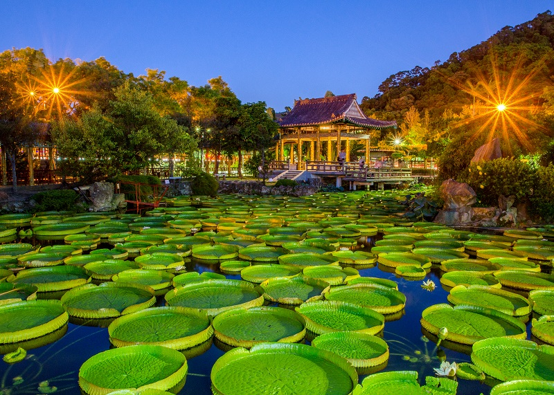 The giant Victoria water lilies exhibition at Shuangxi Park will be extended to September 30. (photo credit: PSLO)