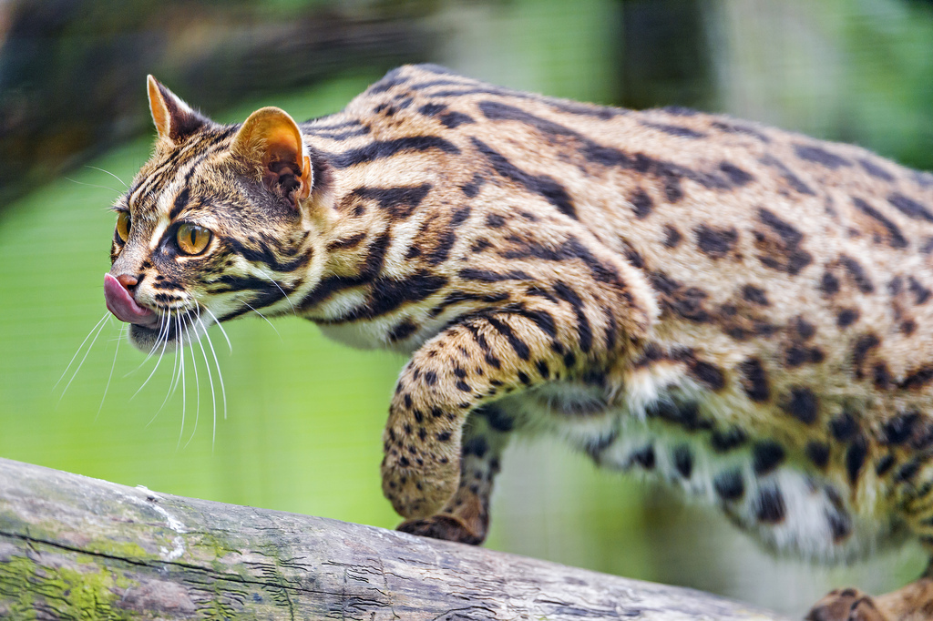 Leopard cat walking on the log (Image courtesy of Flickr)