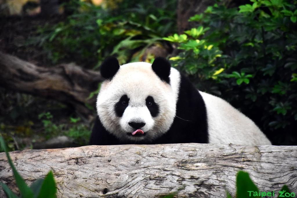 大熊貓。(照片由台北市立動物園提供)