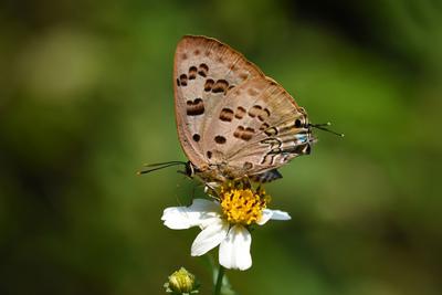 香港發現新蝴蝶品種 「斯米玳灰蝶」(圖),此 品種的蝴蝶一般只在熱帶地區出現。中央社