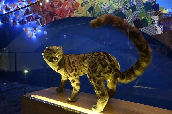 國立台灣博物館歷經2個月整修後將於21日重新開幕, 並於3樓展區設置「重訪台灣博物學與博物學家的年代 」常設展,展出台灣雲豹等367件博物