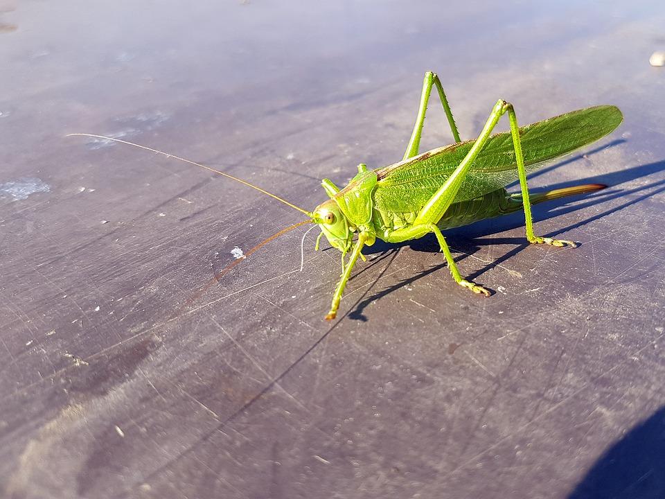 根據該公司,蟋蟀不僅富含蛋白質,更是優質脂肪酸、鈣質、鐵質,及維他命B12的良好來源。(來源:FreeGreatPicture.com)
