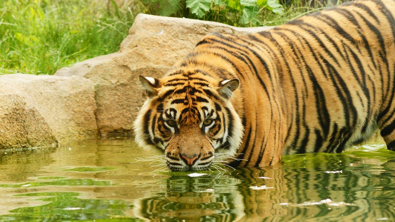 蘇門答臘虎 (圖片取自Pixabay網站)