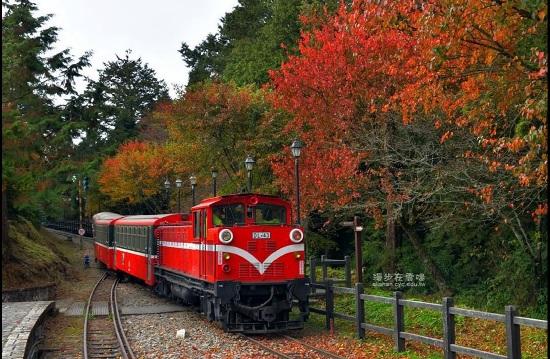 連日低溫,阿里山楓樹紅得均勻透澈。中央社