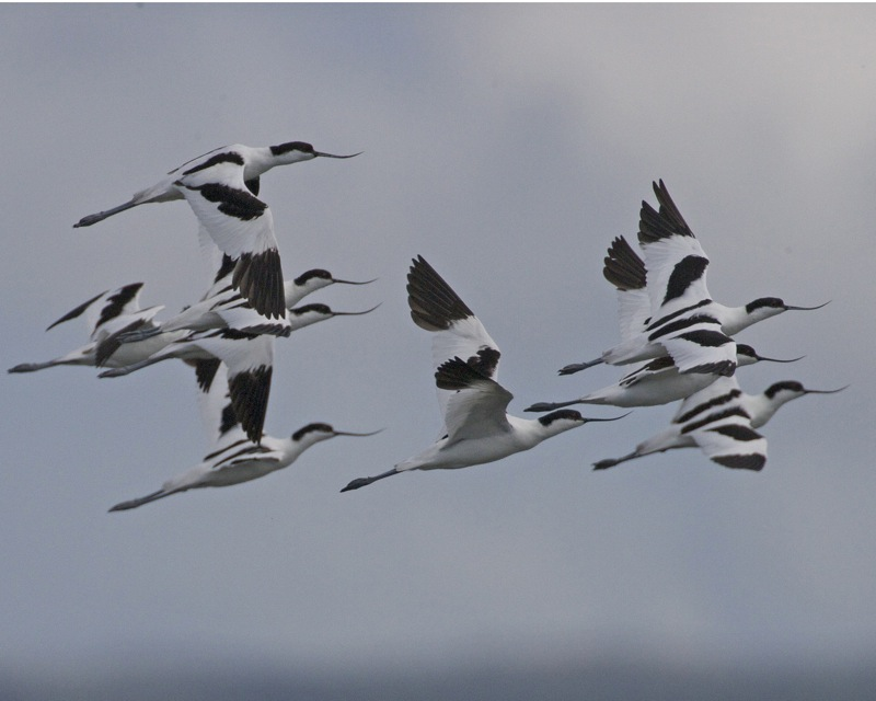 Large number of pied avocets visit bird watching hot-spot in Northern Taiwan