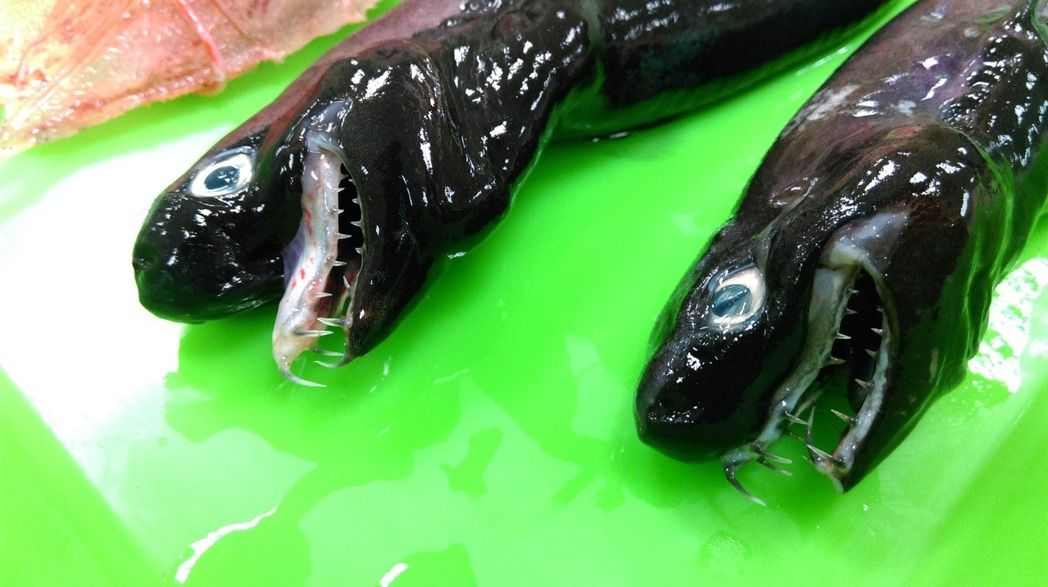 Rare viper sharks caught in Taiwan. (Image from FRI)