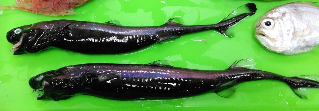 Rare glowing viper sharks caught in Taiwan