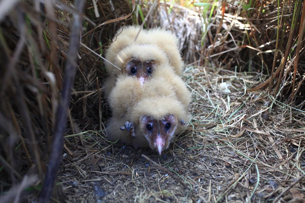 台灣特有亞種瀕絕「東方草鴞」 衛星追蹤揭神秘面紗