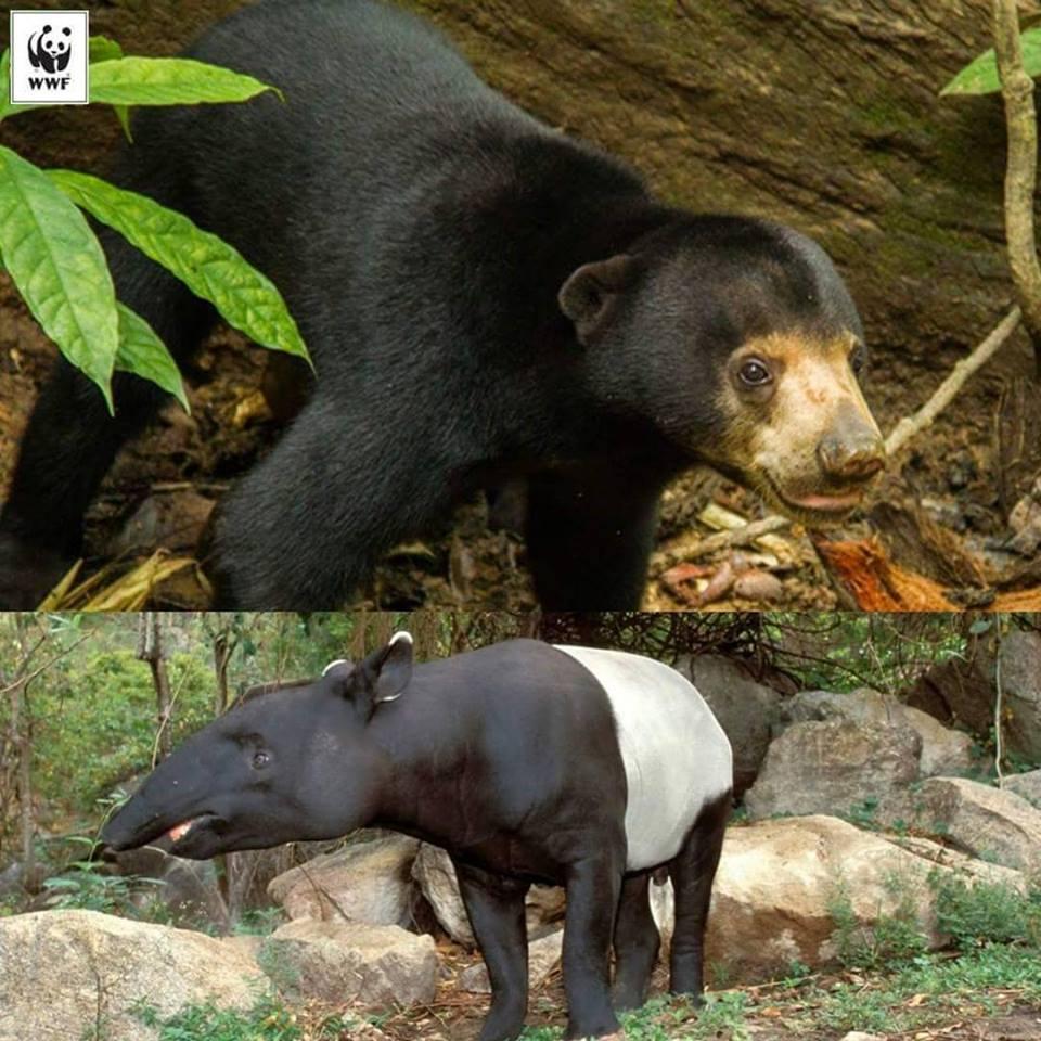 上圖為馬來熊、下圖為馬來貘(圖片擷取自大馬世界自然基金會推特)