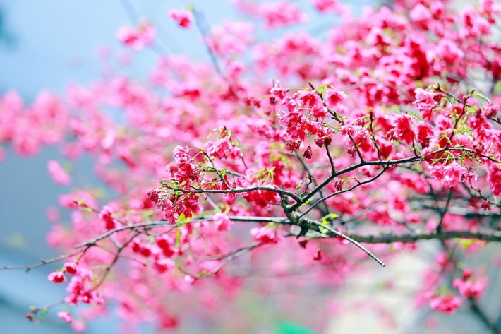 受暖冬影響,今年新北市的櫻花已提早綻放。 (新北市政府綠美化環境景觀處)