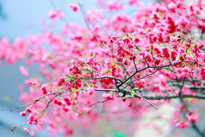 Sakura season has come early. (Photo: New Taipei Landscaping Department)