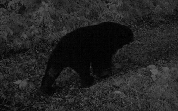 A Formosan black bear (Photo courtesy of Taitung's Forestry Bureau)