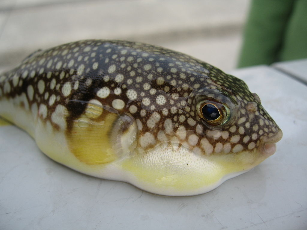 Japan city on alert for deadly blowfish