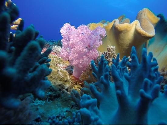 東沙外環礁「八放珊瑚」群聚 (海管處提供)