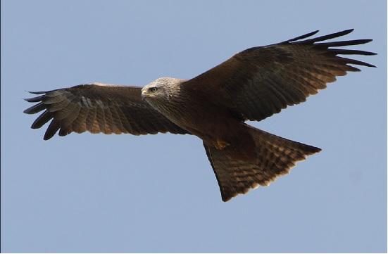 圖為黑鳶的一種 (By Thomas Kraft, 翻攝wikimedia.org)