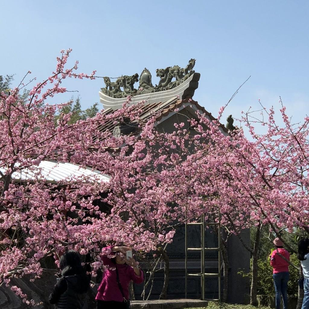 阿里山公路隙頂路段河津櫻盛開,在蔚藍天空襯托下,顯得特別亮眼,吸引上山遊客駐足賞櫻、拍照留念。