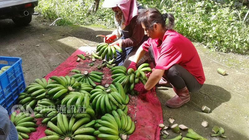 File Photo: Banana growers in central Taiwan