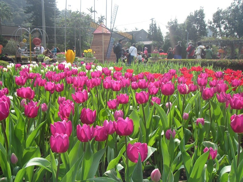Tulips at Shilin Official Residence (photo from the PLSO website)