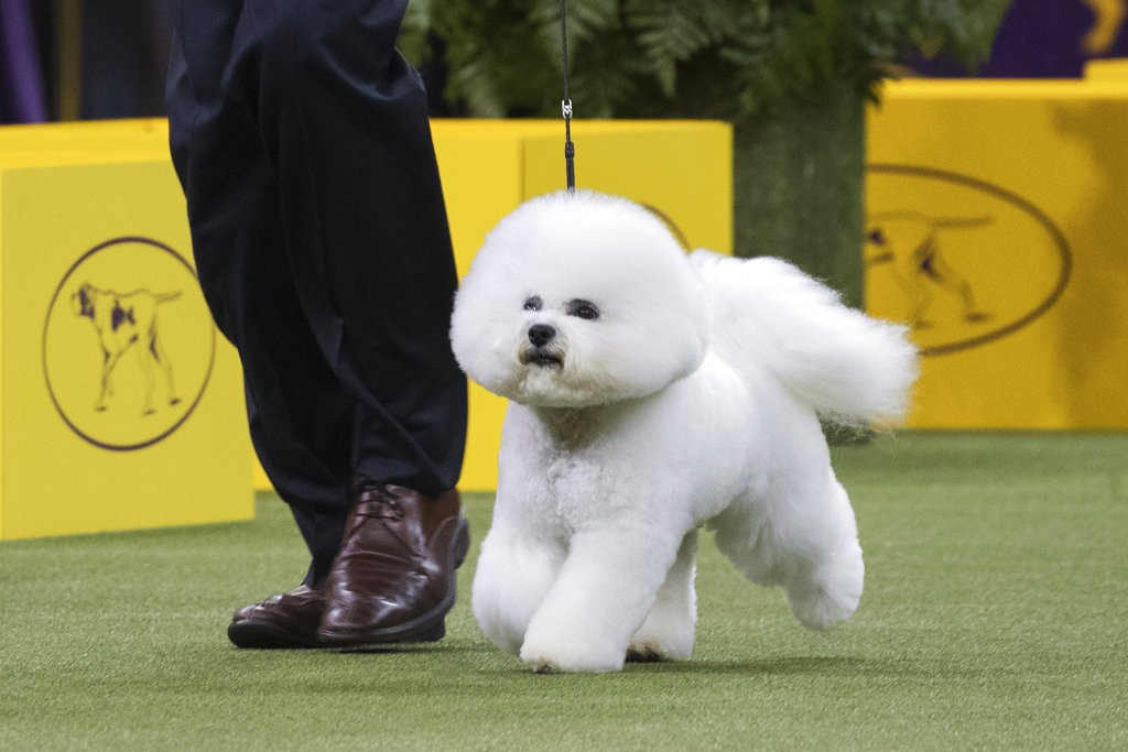Bill McFadden shows Flynn, a bichon frise, in the ring during the non-sporting group during the 142nd Westminster Kennel Club Dog Show, Monday, Feb. 1
