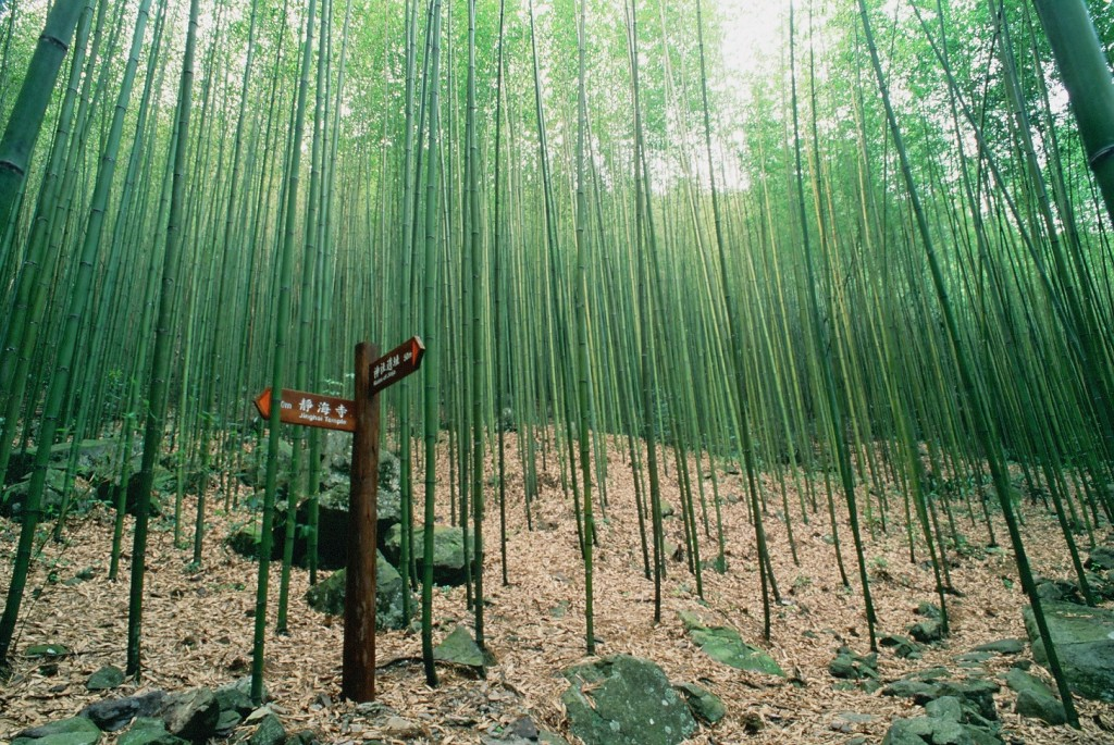 The bamboo forest in Basianshan National Forest Recreation Area.  (Credit: Forestry Bureau)