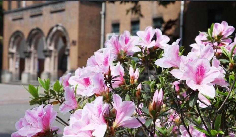 Azaleas blooming at NTU