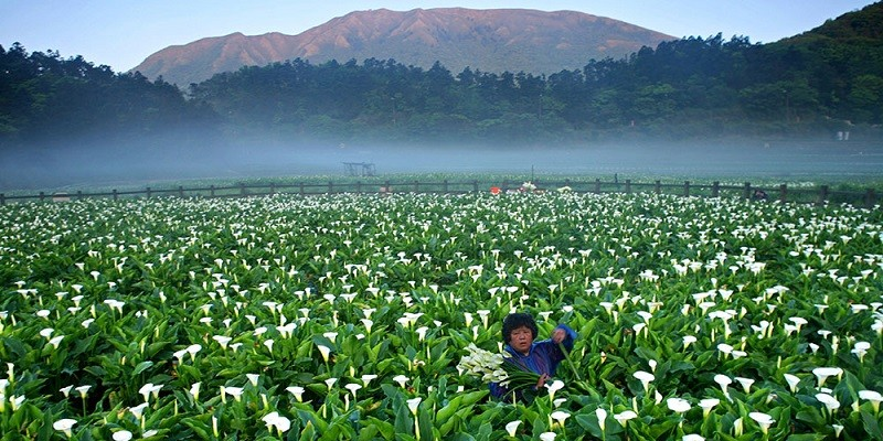2018 Zhuzihu Calla Lily Festival (photo from the festival official website)